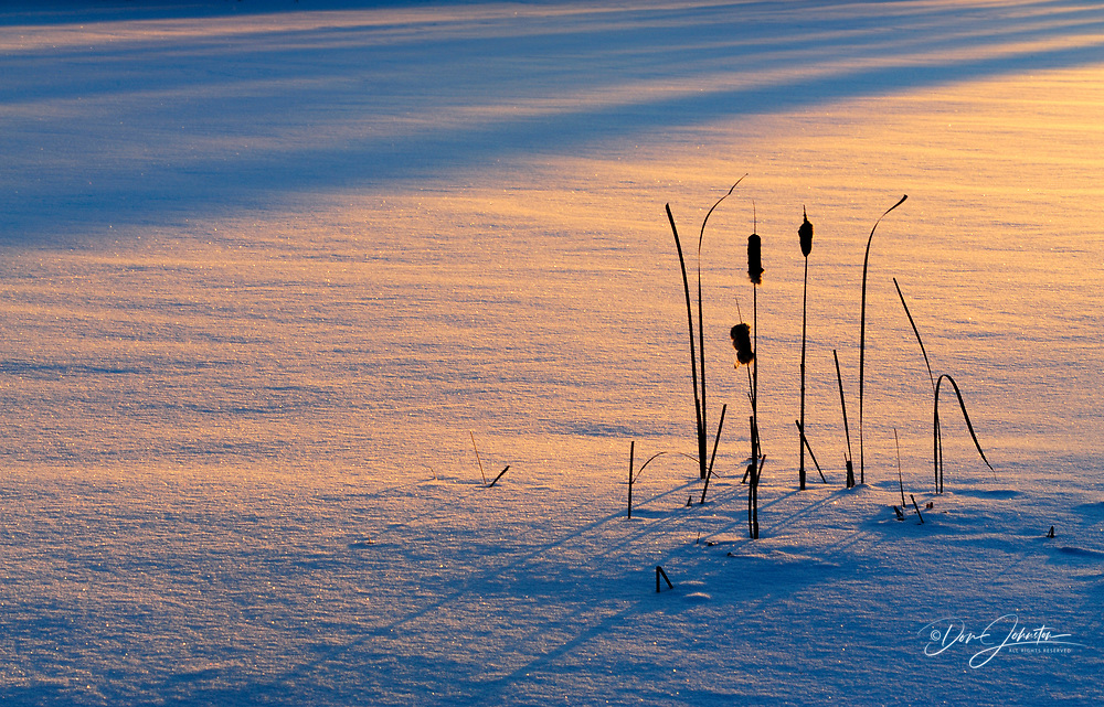Cattails and shadows at edge of winter pond near sunset, Greater Sudbury/Lively, Ontario, Canada