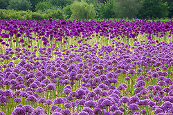 Massed alliums at M and G Congreve