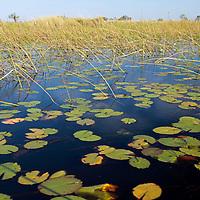 Africa, Botswana, Okavango Delta. Lily pads in the Okavango.