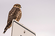Photo Randy Vanderveen<br /> Grande Prairie, Alberta<br /> 2018-09-20<br /> A merlin uses a roadside road ban sign as a perch Thursday morning. The small raptors prey mainly on song birds and are year-round residents of the province.