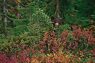 Black Bear cub (Ursus americanus) standing behind small tree  at Paradise Meadows In autumn in Mount Rainier National Park, Washington, USA