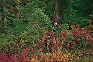 Black Bear cub (Ursus americanus) standing behind small tree  at Paradise Meadows In autumn in Mount Rainier National Park, Washington, USA