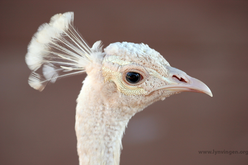 The White Peacock is frequently mistaken for an albino, but it is a colour variety of Indian Blue Peacock.<br /> <br /> --------<br /> <br /> Hvit påfugl blir ofte forvekslet med en albino, men det er en farge variant av Indiske Blå Påfugl