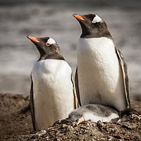 Pygoscelis papua, Antarctica