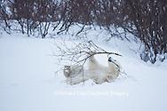 01874-13509 Polar Bear (Ursus maritimus) cub playing with willow branch, Churchill Wildlife Management Area, Churchill, MB