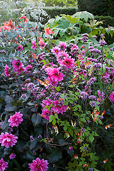 Dahlia 'Fascination' with Verbena bonariensis and Ipomoea lobata syn. Mina lobata in the exotic garden at Great Dixter