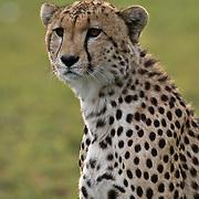 Cheetah (Acinonyx jubatus) Single male. Serengeti Plains. Masai Mara Game Reserve. Kenya. Africa.