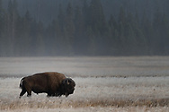 A bison walks through frosted meadows on a fall morning.
