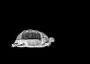 Spur-thighed Tortoise or Greek Tortoise (Testudo graeca) under x-ray Side view