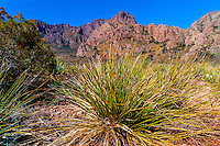 Yucca plants, Chihuahuan Desert,  Big Bend National Park, Texas USA.