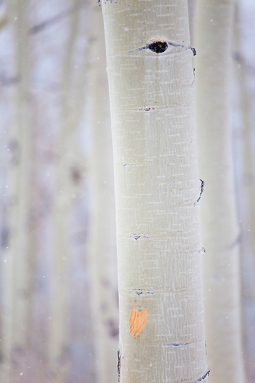 Heart shaped scratch on an aspen tree in Uncompahgre National Forest, Colorado.