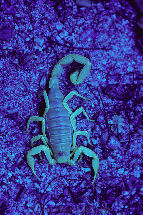 Scorpion lit with a black light in Thousand Palms (desert) of California.