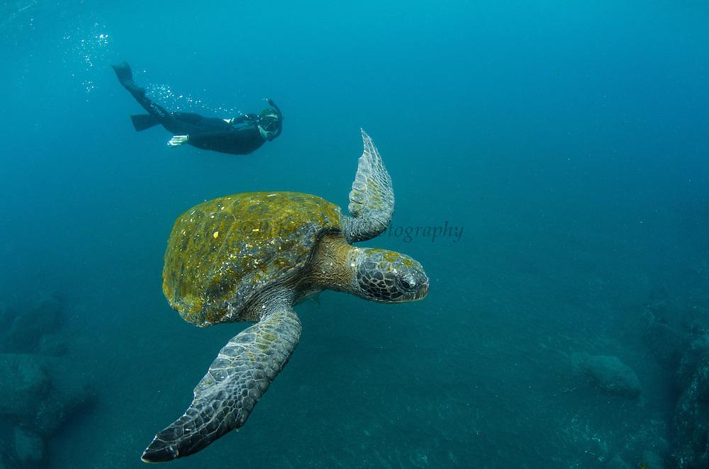 Galapagos Green Sea Turtle (Chelonia mydas agassizi) & Tourist<br /> GALAPAGOS ISLANDS,<br /> Ecuador, South America<br /> Endemic Subspecies