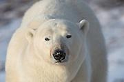 Polar Bear in Churchill, Manitoba.