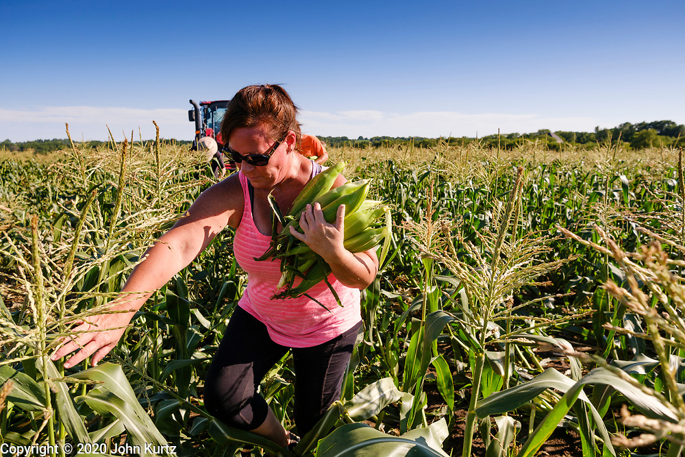 27 JULY 2020 - CARLISLE, IOWA: AMY RODGERS gleans sweet corn on the Butcher Creek Farm in Carlisle. Volunteers from Eat Greater DSM gleaned sweet corn in the fields on the farm. The corn was packaged and will be distributed to Des Moines emergency pantries, community centers, and churches this week. Gleaning is the act of collecting leftover crops from farmers' fields after they have been commercially harvested or gathering crops from fields where it is not economically profitable to harvest. It is an ancient tradition first described in the Hebrew Bible. A spokesperson for Eat Greater DSM said food assistance need has skyrocketed this year. In a normal year, they distribute about 300,000 pounds of food. Since the start of the COVID-19 pandemic in March, they've distributed more than 500,000 pounds of food.         PHOTO BY JACK KURTZ