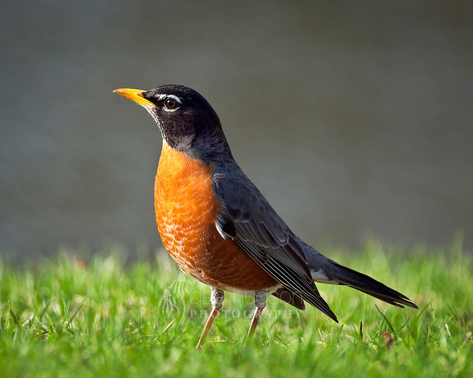 Although robins are very common in Illinois, they are a welcome sight in early spring and I really enjoy their cheery song. This one was running and hopping along the grass near the water. The robin paused a quick moment, with the light perfectly illuminating his orange–red breast, and I could not resist its striking pose. American Robin (Turdus migratorius)