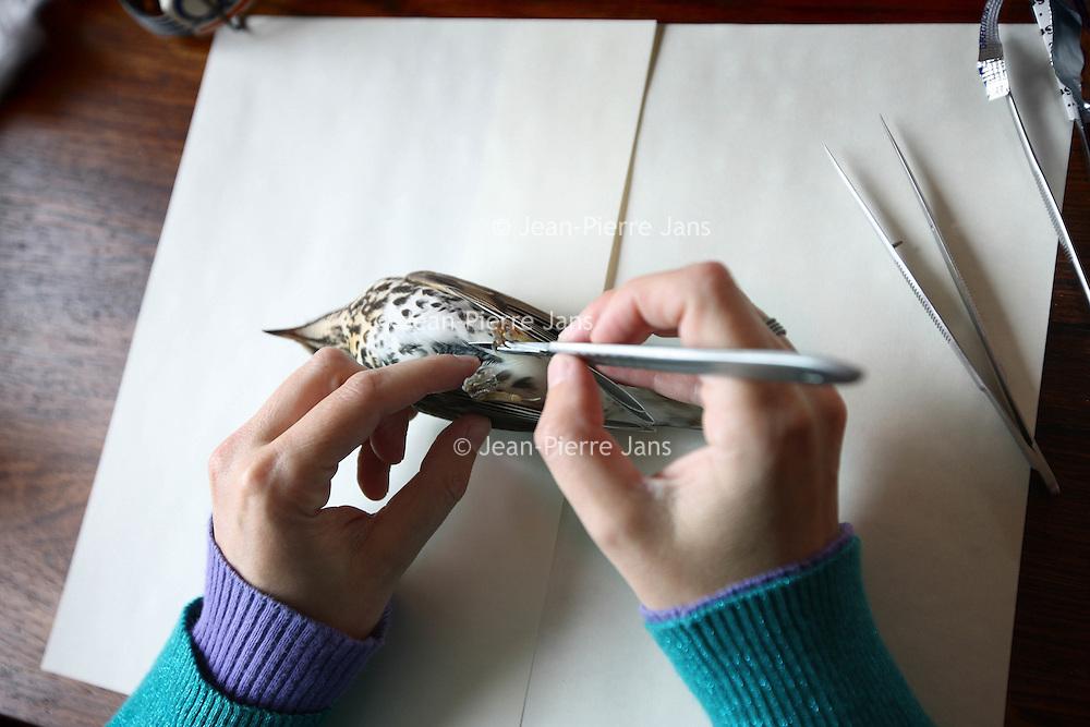 Nederland, Amsterdam , 7 oktober 2010..Mevrouw Seekes uit de Boomstraat is preparateur van vogels. .op de foto is ze een dode lijster aan het prepareren. Op de voorgrond een geprepareerde opgezette vogel..Taxidermist preparing a song-thrush to be stuffed.