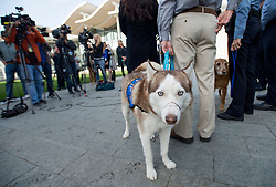 December 14, 2016 - Newport Beach, California, USA - Kevin Marlin, Program Director of the Orange County SPCA, holds on to Patriot, a Siberian Husky that was injured from animal cruelty during a press conference in Newport Beach, California, December 14, 2016...Patriot has scars from a previous owner who tied a metal wire around his nose to keep him from barking...The Newport Beach Police Department,  Animal Control, Orange County District Attorney's Office, Orange County Society for the Prevention of Cruelty to Animals (OCSPCA), and Supervisor Michelle Steel held a news conference tomorrow to discuss the consequences of animal cruelty and the resources available to citizens who find themselves unable to provide care for their pets due to various circumstances. ..(Photo by Jeff Gritchen, Orange County Register/SCNG) (Credit Image: © Jeff Gritchen/The Orange County Register via ZUMA Wire)