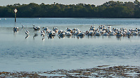 American White Pelican (Pelecanus erythrorhynchos). Fort De Soto Park. Pinellas County, Florida. Image taken with a Nikon D2xs camera and 80-400 mm VR lens.