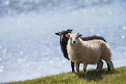 Black and white sheep, side by side, on green grass with blue water background. Paint effect added | Sort og hvit sau, side om side, på grønt gress med blått vann som bakgrunn. Malerisk effekt er lagt til.
