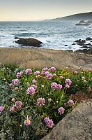 Wildflowers on coastal bluffs,  Sonoma Coast, Salt Point State Park California
