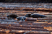2002 Honorable Mention in the Nature's Best International Photography Awards Competition (Environmental Issues); Harbor Seals, Phoca vitulina, rest on logs offshore Campbell River, Vancouver Island, British Columbia.
