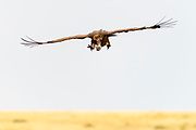 White-backed vulture (Gyps africanus) at inflight in Maasai Mara, Kenya.