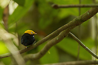 Golden-headed Manakin (Pipra erythrocephala)  male at a canopy perch.<br /><br /><br />Tiputini Biodiversity Station, Amazon Rain Forest, Ecuador.