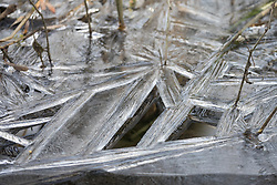 Denham, UK. 13th February, 2021. Ice formed in wet woodland in Denham Country Park. The current cold spell is expected to be replaced by milder conditions after tomorrow.