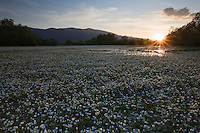 Flowering thread-leaved water-crowfoot (Ranunculus trichophyllus), in a seasonal river in the Northern part of the Livansko Polje -  karst plateau: arguably the largest karst field in the world. Ramsar site. Photographed in the middle of the river at sunset. Zdralovac area. In an affected mine field area. May 2009. Bosnia-Herzegovina.<br /> Elio della Ferrera / Wild Wonders of Europe
