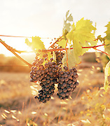 Grapes in a vineyard in Tuscany, Italy