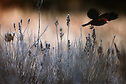 A red-winged blackbird takes flight from frosty wetlands on the Sammamish Plateau.<br /> (Steve Ringman / The Seattle Times)
