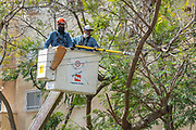 Electric company workers use power tools and an hydraulic lift to gain height advantage while cutting branches from a tree that may touch high voltage wires during a storm Photographed in Israel