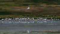 American White Pelican (Pelecanus erythrorhynchos). Arapaho National Wildlife Refuge, Colorado. Image taken with a Nikon D2xs camera and 80-400 mm VR lens.