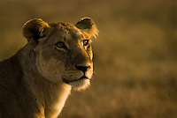 A resting lioness in the Serengeti National Park, Tanzania