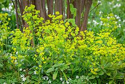 Euphorbia robbiae syn. E. amygdaloides var. robbiae with Anemone nemorosa in the Nuttery at Sissinghurst Castle Garden. Wood Spurge