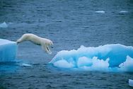 Polar Bear, Ursus maritimus, North East Greenland National Park, Greenland