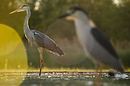 Grey heron and Black-capped Night heron, Ardea cinerea and Nycticorax nycticorax, feeding on cyprionid fish/carp species in fish farm pond, at Pusztaszer protected landscape, Kiskunsagi, Hungary