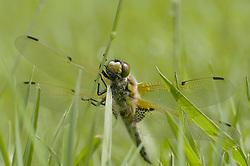 Libellula quadrimaculata, Viervlek