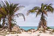 Coconut palms along Love beach in Nassau, Bahamas