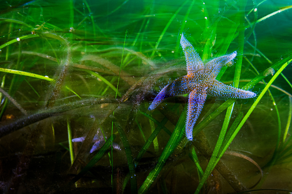 A pair of Northern sea stars or common starfish (Asterias vulgaris) feed on the various creatures and algae growing on eelgrass (Zostera marina), a type of seagrass, off Newfoundland, Canada.