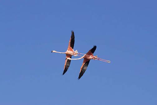 West Indian Flamingo, (Phoenicopterus ruber) Lake Windsor, Great Inagua, Bahamas.