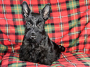 Young Scottish Terrier pedigree dog