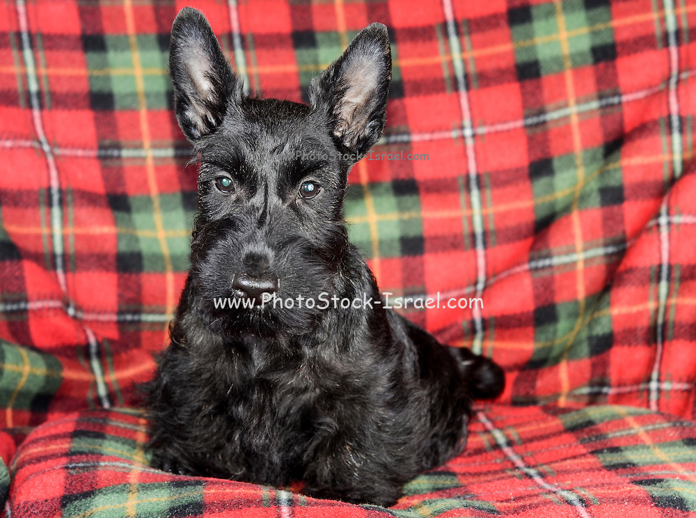 Young Scottish Terrier pedigree dog