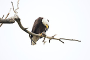 Stock photo of bald eagle captured in Colorado.  The bald eagle is an oppurtunistic feeder.  90 percent of it's diet is fish,  birds and small mammals.  They will also take fish from osprey as well.