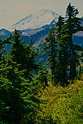 Pine forest and Mt. Baker, North Cascades National Park, WA