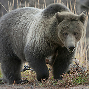 Portrait of a grizzly bear (Ursus horribilis) during autumn in Yellowstone National Park.