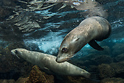 Galapagos Sealion (Zalophus wollebaeki)<br /> North Seymour Island<br /> GALAPAGOS ISLANDS<br /> Pacific Ocean<br /> ECUADOR.  South America