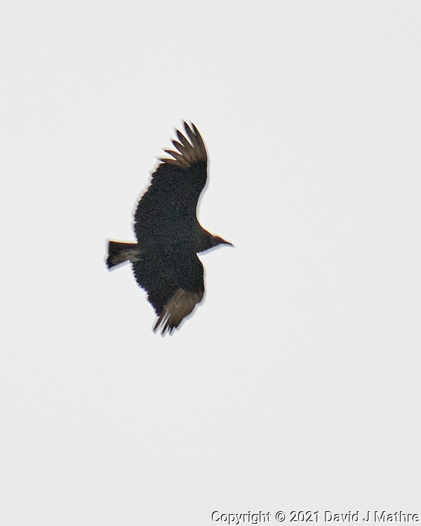Black Vulture (Coragyps atratus). Image taken with a Leica SL2 camera and 90-280 mm lens.