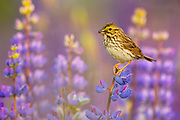 A savannah sparrow (Passerculus sandwichensis) feeds on an insect while perched on a flowering big-leaved lupine in Van Lierop Park, Puyallup, Washington.